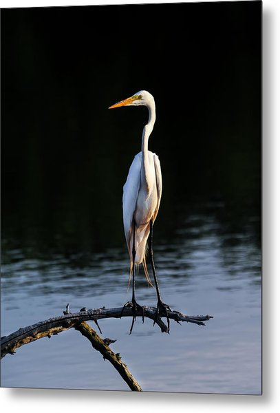 Maryland Great Egret Metal Print
