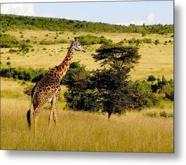 Masaai Giraffe Metal Print