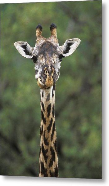 Masai Giraffe Serengeti Np Metal Print