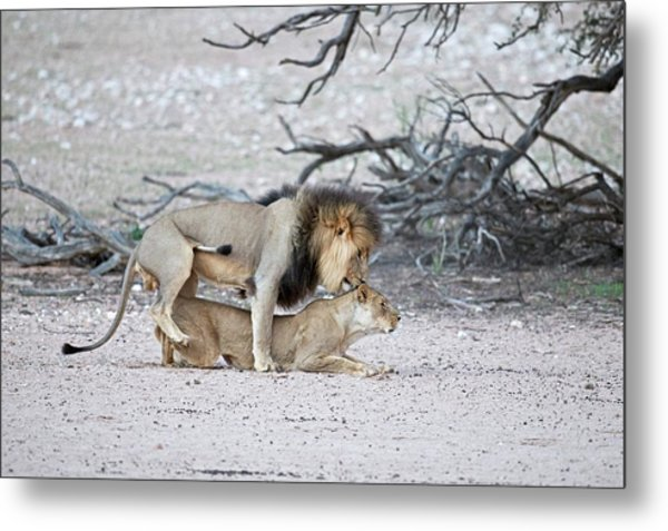 Mating African Lions Metal Print