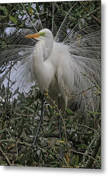 Mating Plumage Metal Print
