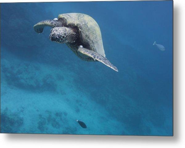 Maui Sea Turtle Approach Metal Print