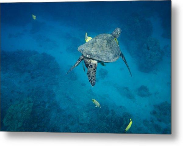 Maui Sea Turtle Cleaning Station Metal Print