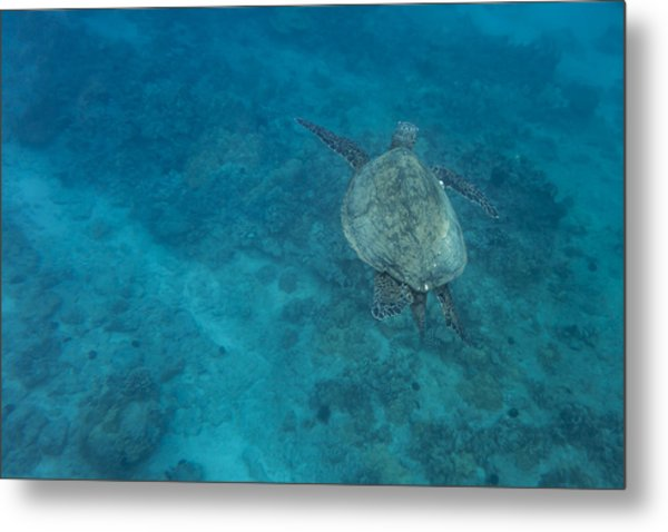 Maui Sea Turtle Comes In For A Landing Metal Print