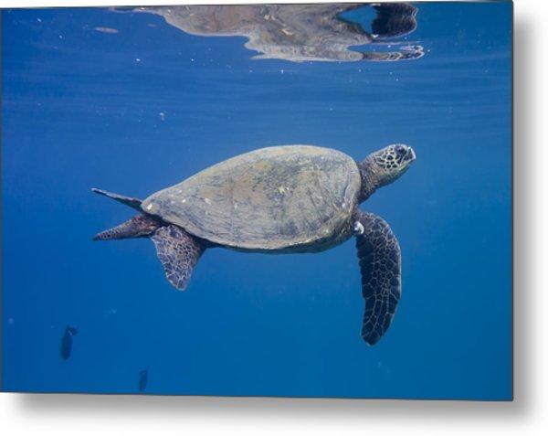 Maui Sea Turtle Deep Blue Metal Print