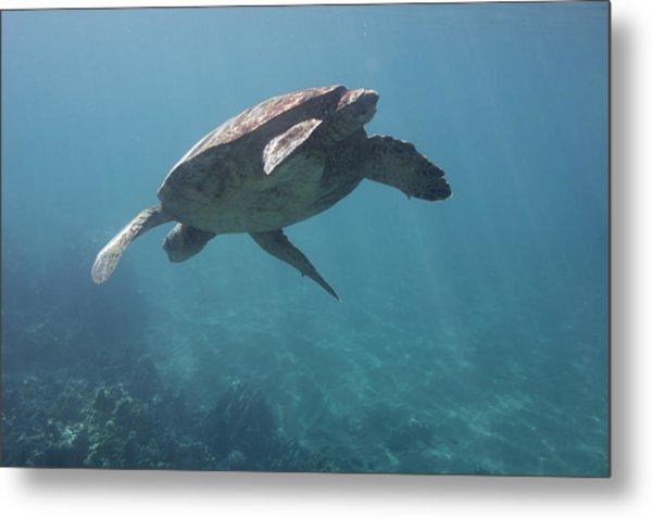 Maui Sea Turtle Dives Metal Print