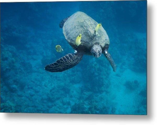 Maui Sea Turtle Faces Us Metal Print