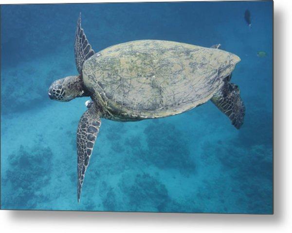 Maui Sea Turtle Flying Metal Print