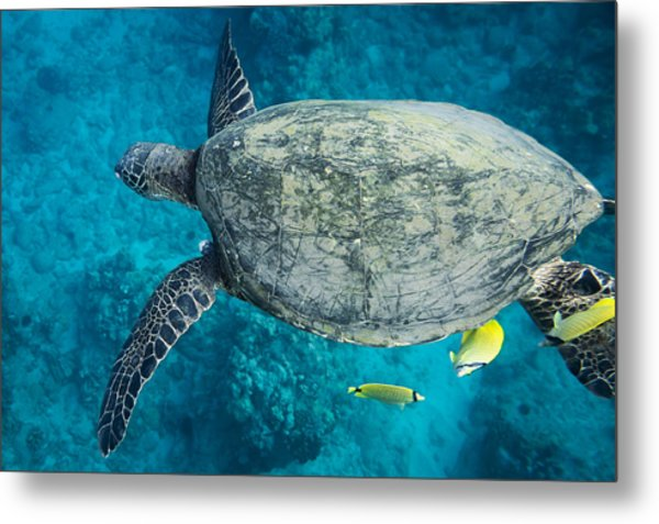 Maui Sea Turtle Flys In To A Cleaning Station Metal Print