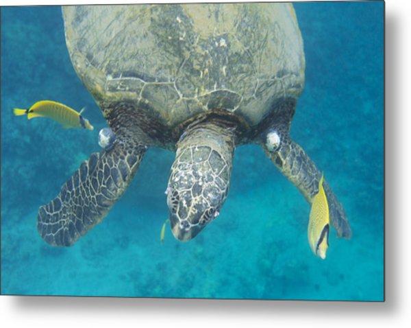 Maui Sea Turtle Gets Cleaned Metal Print