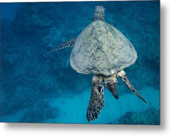 Maui Sea Turtle Passes By Metal Print