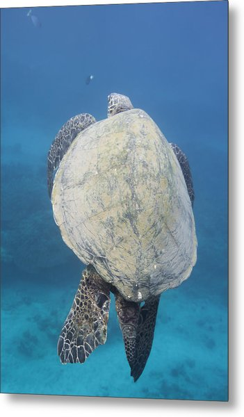 Maui Sea Turtle Vertical Metal Print