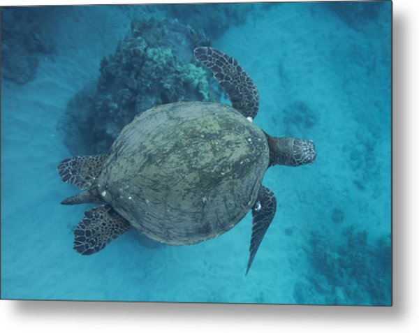 Maui Sea Turtles From Above Metal Print