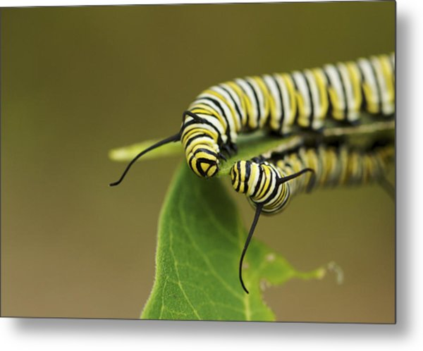 Meeting In The Middle - Monarch Caterpillars Metal Print