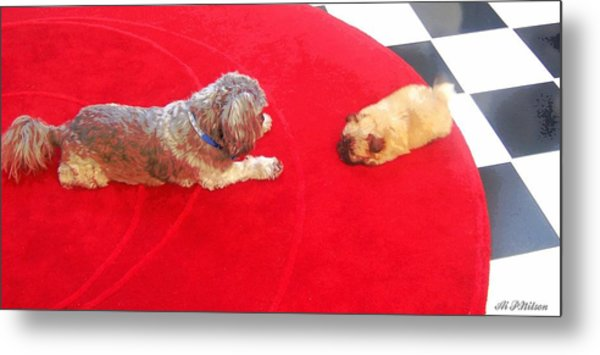 Dog And Puppy Pet Photography Lhasa Apso Shih Tzu Pomeranian   Metal Print