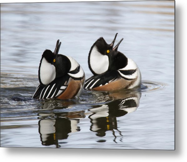 Merganser Display Metal Print