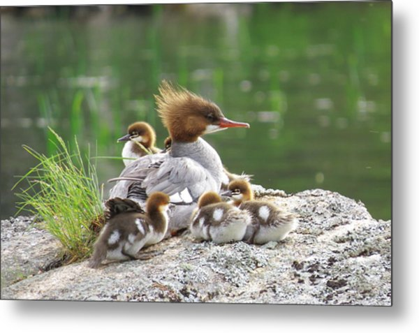 Merganser With Chicks Metal Print by Acadia Photography