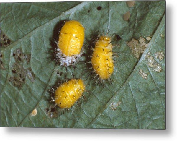 Mexican Bean Beetle Larvae Metal Print