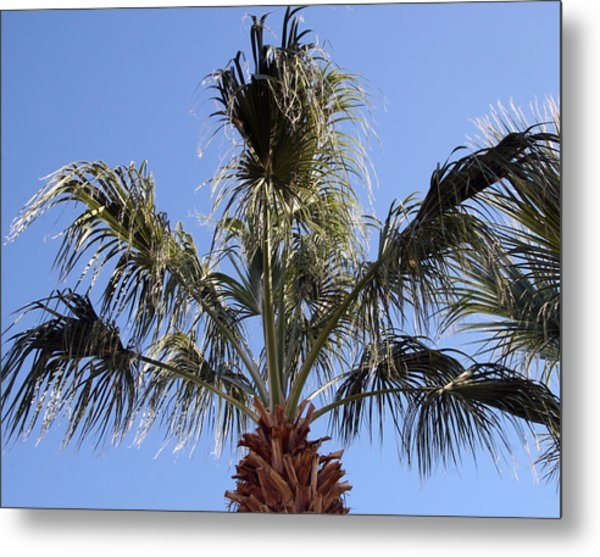 Mexican Fan Palm Tree Photograph By Amelia Painter