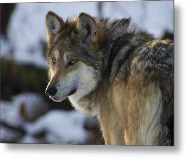 Mexican Gray Wolf Metal Print