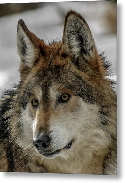 Mexican Grey Wolf Upclose Metal Print