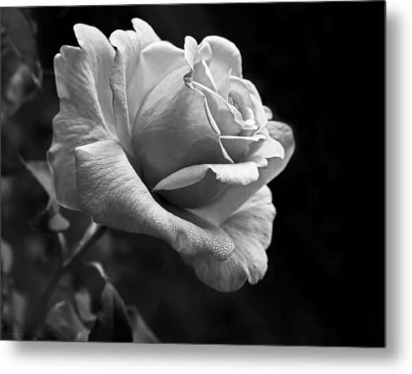 Midnight Rose In Black And White Metal Print