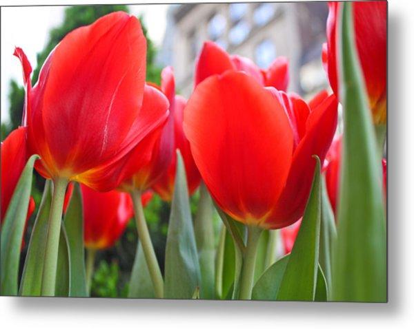Midtown Tulips Metal Print by Zev Steinhardt