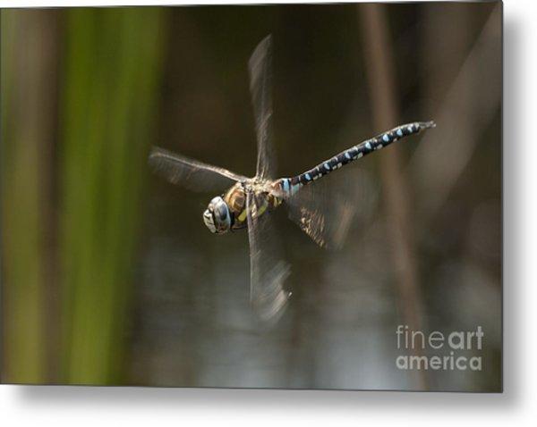 Migrant Hawker Dragonfly In Flight Metal Print