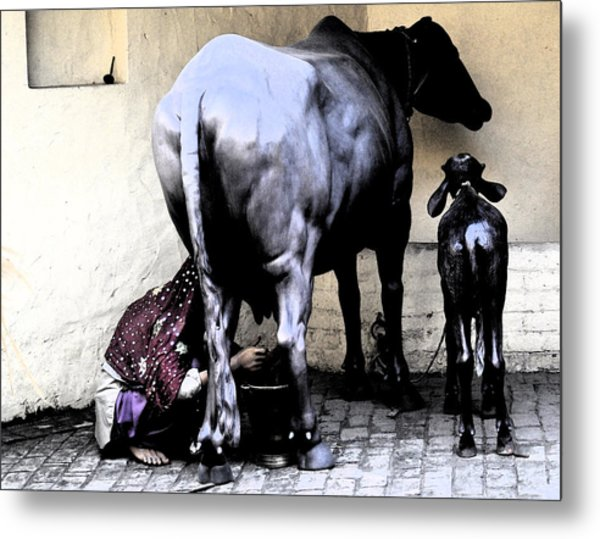 Milking The Cow Metal Print by Bliss Of Art