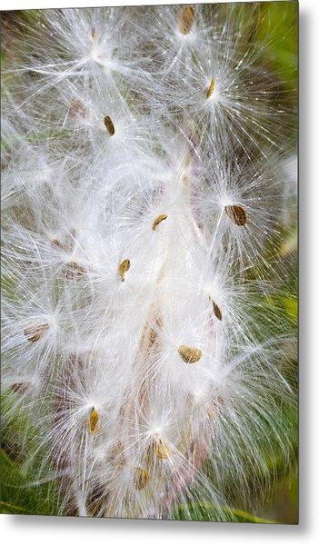 Milkweed Seeds And Fluff Metal Print