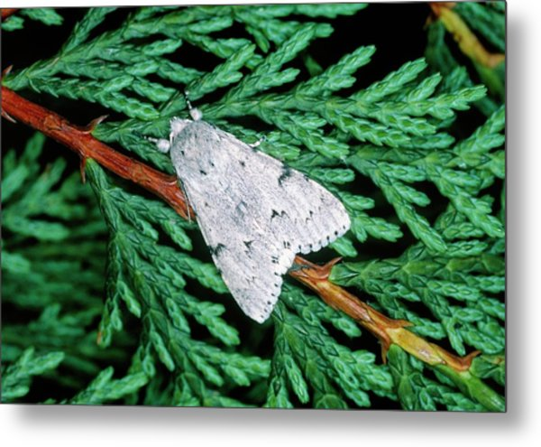 Miller Moth (acronicta Leporina) Metal Print by Tony Wood/science Photo Library