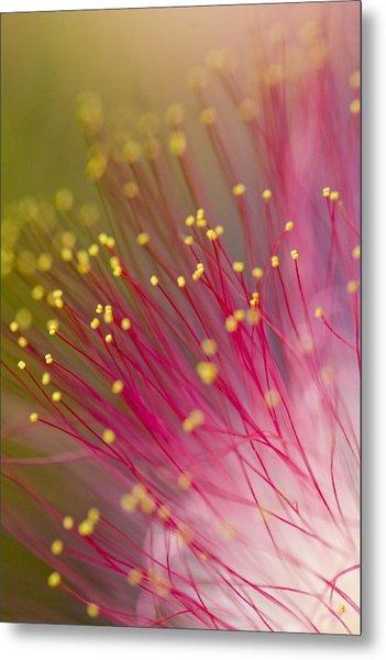 Mimosa Blossom 3 Metal Print
