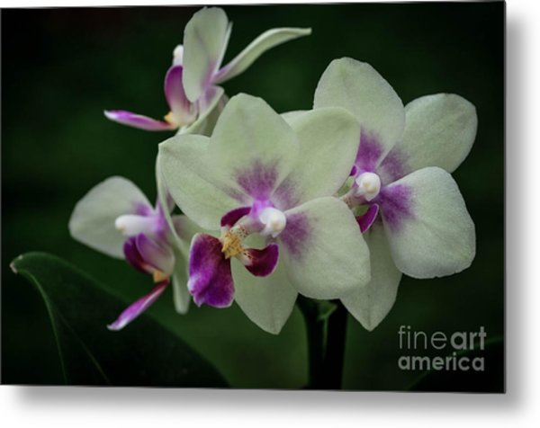 Minature Orchids Metal Print by Carol A Commins