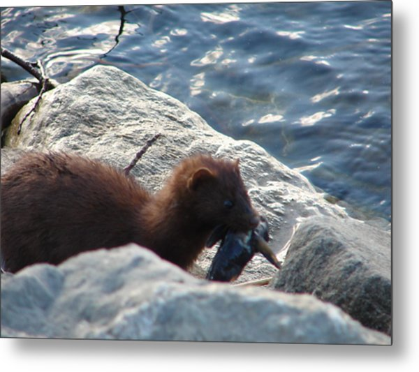Mink With A Round Goby Metal Print