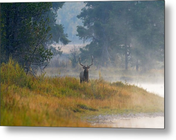 Misty Morning Elk Metal Print