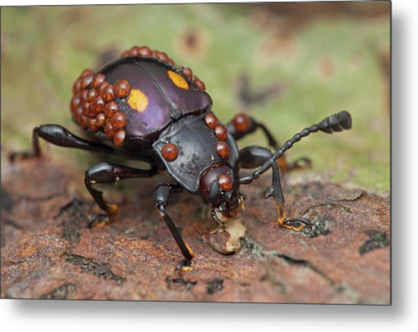 Mites On Fungus Beetle Metal Print by Melvyn Yeo/science Photo Library