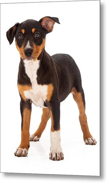 Mixed Breed Puppy Ear Up Metal Print