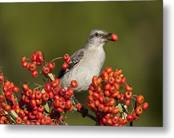 Mockingbird In Berries Metal Print