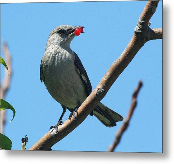 Mockingbird With Berries Metal Print