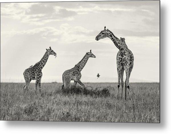Mom And Twin Giraffes Metal Print