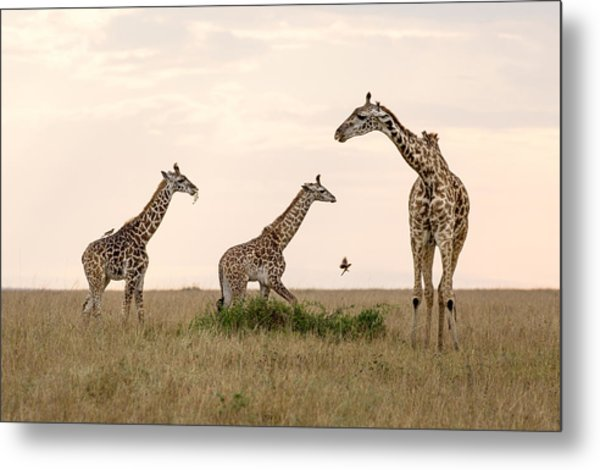 Mom Giraffe And Twins In Color Metal Print