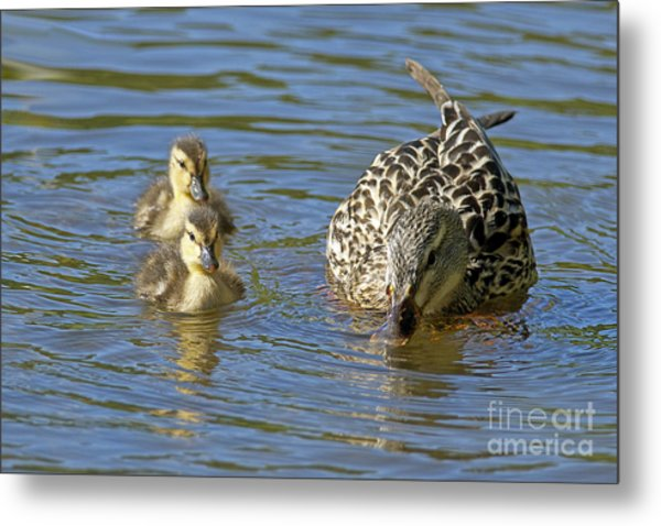 Momma Mallard And Her Ducklings Metal Print by Sharon Talson