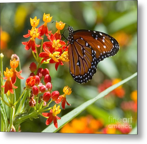 Metal Print featuring the photograph Monarch  At Work  by Mae Wertz