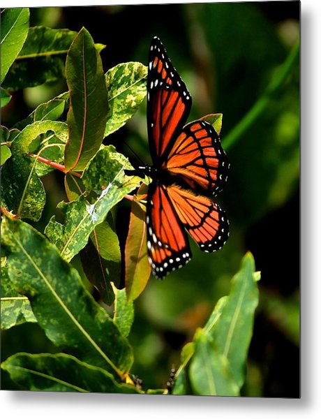 Viceroy Butterfly II Metal Print