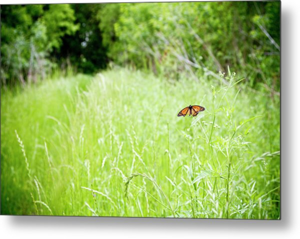 Monarch Butterfly In Green Field Metal Print by Thorpeland Photography