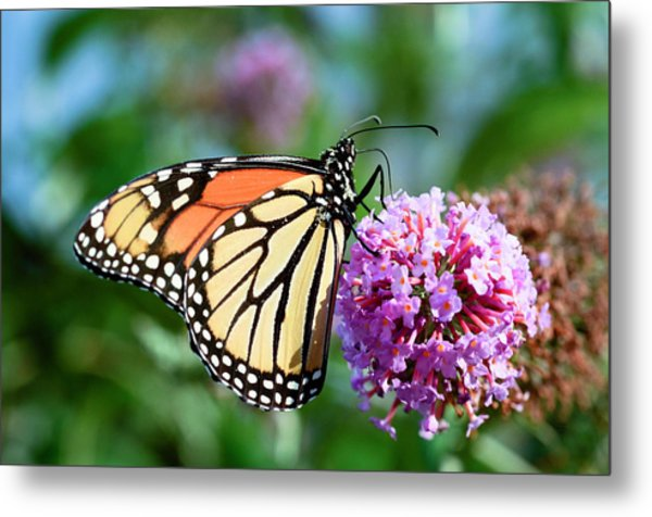 Monarch Butterfly Soaking Up The Sun Metal Print