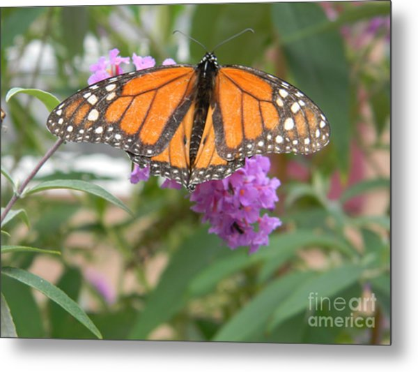 Monarch Butterfly Suckling A Flower Metal Print