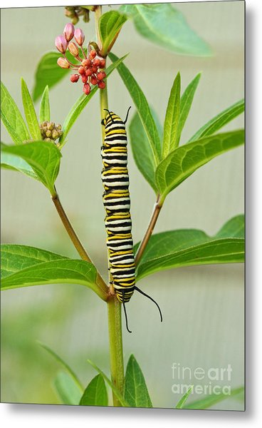Monarch Caterpillar And Milkweed Metal Print