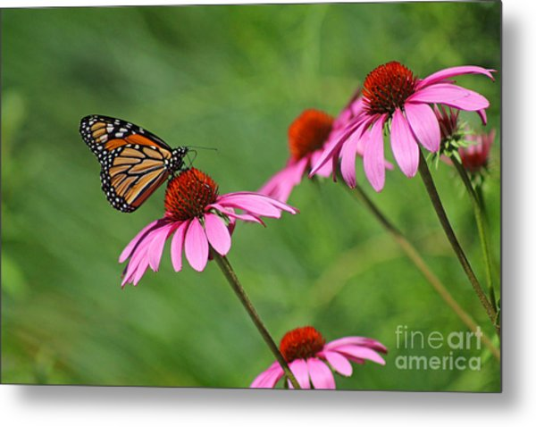 Monarch On Garden Coneflowers Metal Print