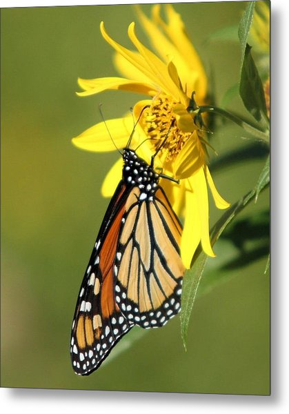 Monarch On Jerusalem Artichoke Metal Print